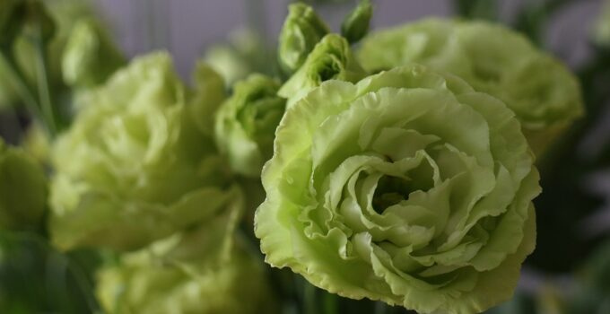 Eustoma Potted